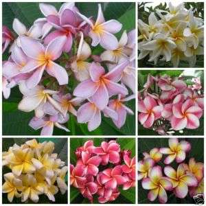 100 MIXED PLUMERIA SEEDS FRESH RARE PLANT LOW COST
