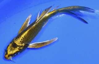 Kin ki utsuri butterfly fin live koi fish pond garden ndk for Kin matsuba koi