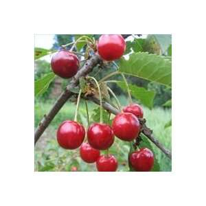 Bing Cherry Tree Seed Pack Patio, Lawn & Garden