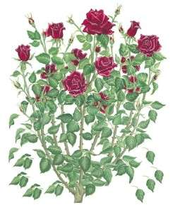 Rose Bush ~ Tatouage   See FREE SHIP OFFER*