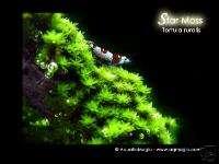 Star Moss   Live Aquarium Plant Fern Java Anubias INV