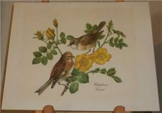 Whitethroat Linnet Print Lithograph of 2 Birds Rose Bush Audubon