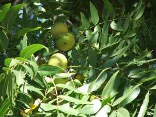 California Black Walnut Trees (Juglans hindsii)