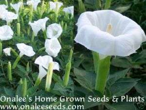 24+ WHITE DEVILS/ANGEL TRUMPET MOONFLOWER SEEDS DATURA