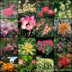 10 Grevillea Mix Australian Native Garden Plants Shrub