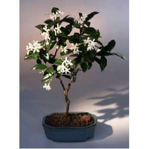 Bonsai Boys Flowering White Jasmine trachelospermum jasminoides